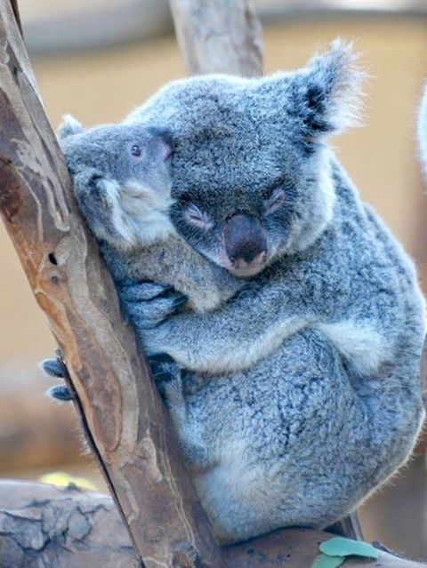 sleeping koala and baby